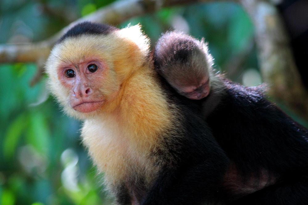 Costa-Rica-Cebus-capucinus-Manuel-Antonio