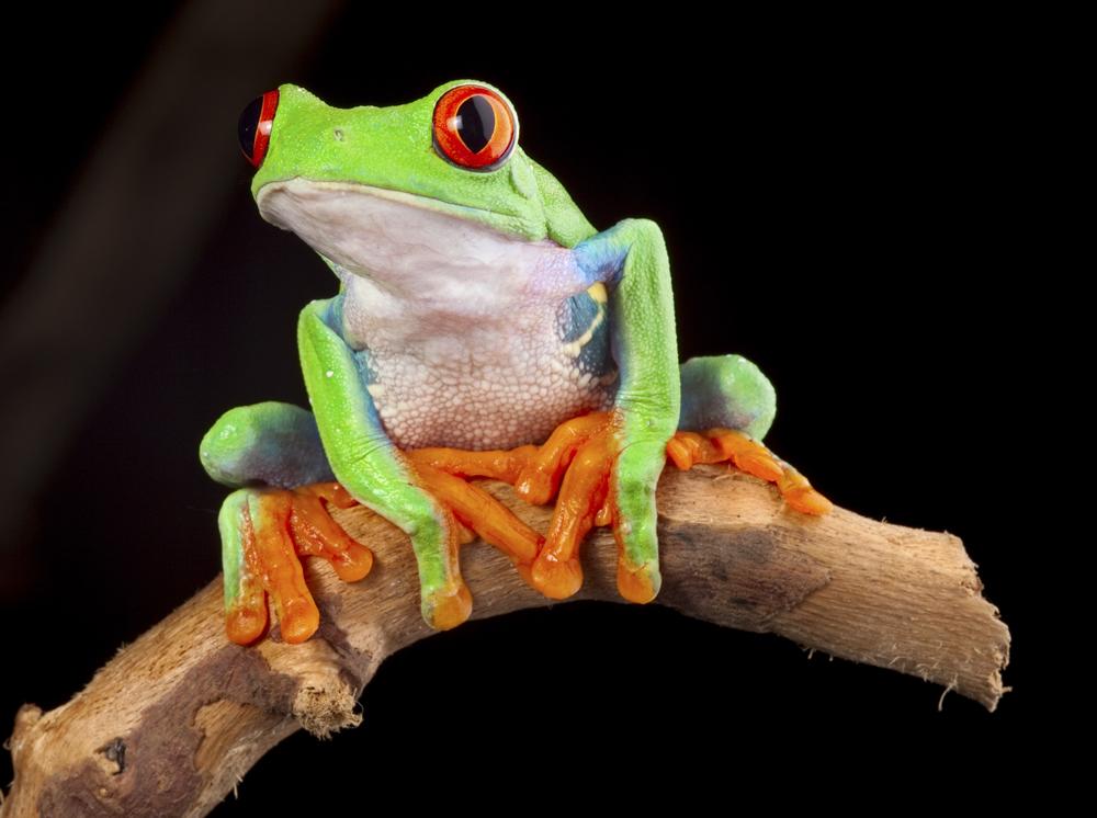 Costa-Rica-Frog